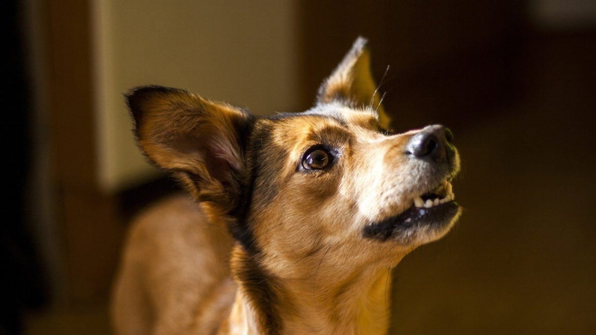 Do dogs of all ages respond equally to dog-directed speech?