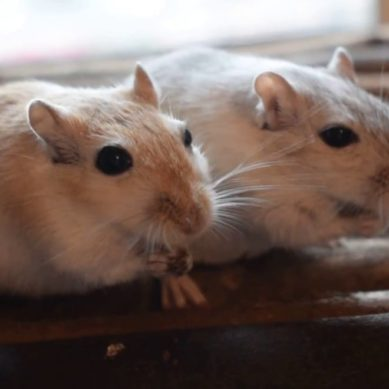 If your kid's in love with gerbils, here's what you should know