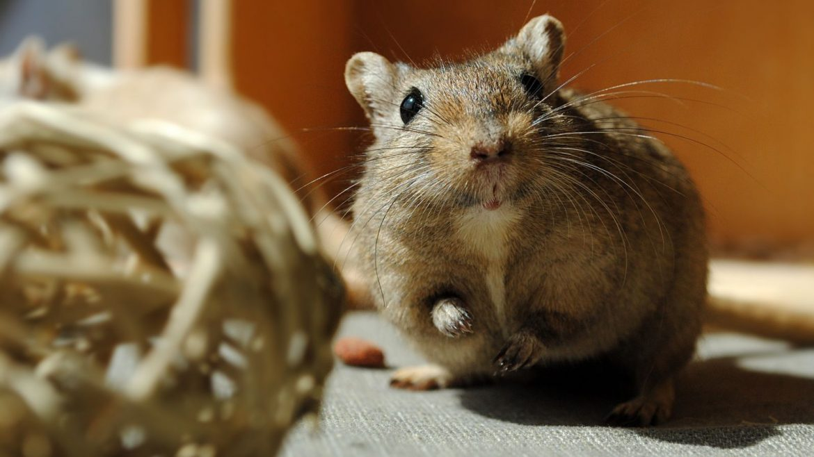 3 reasons why your kid would love a pet gerbil