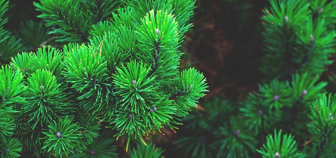 How do you save dying evergreen tree