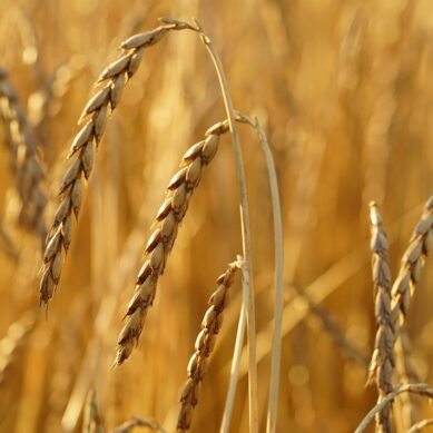 What are the properties of spelt: health benefits and contraindications?